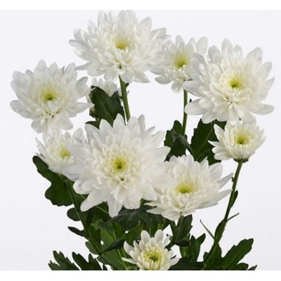 Балтика хризантема белая