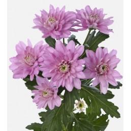 Хризантема Балтика розовая