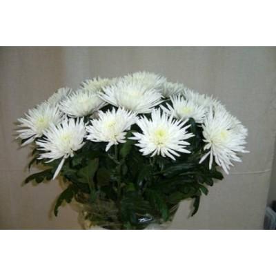 Иксора (хризантемы)