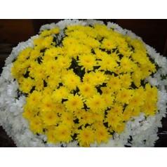 Дружелюбная (хризантемы)