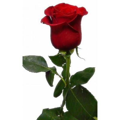Акция Красная Роза Фридом 1 шт