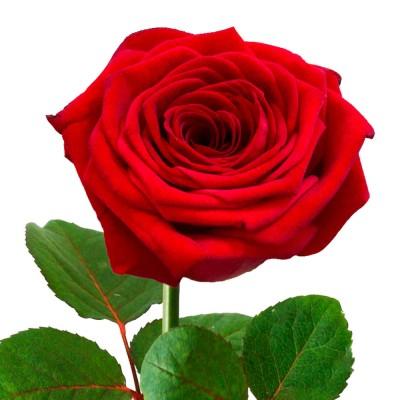 Роза красная Российская 1шт
