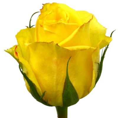 Мохана желтая (1 роза)