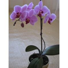Орхидея сиреневая в горшке