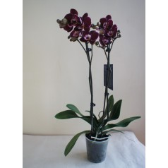 Орхидея темная