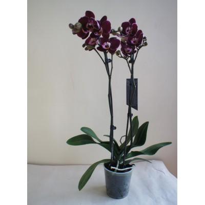 Орхидея темная в горшке