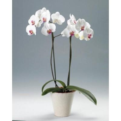 Орхидея белая в горшке