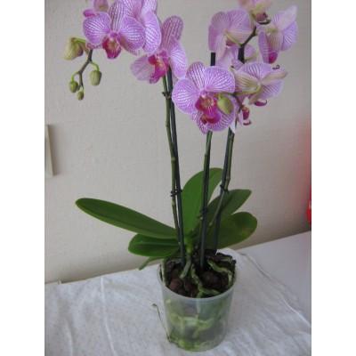 Орхидея розовая в горшке