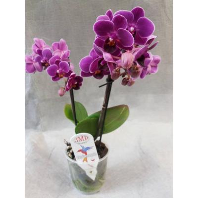 Орхидея малиновая в горшке