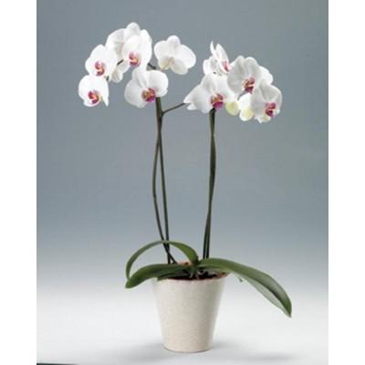 Орхидея Снежинка в горшке