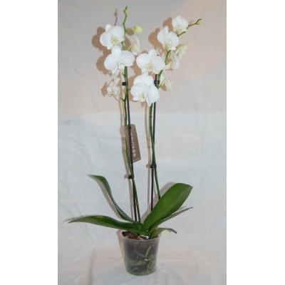 Орхидея Тигровая в горшке