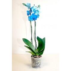 Орхидея синяя в горшке