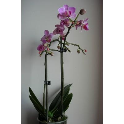 Орхидея Радость в горшке