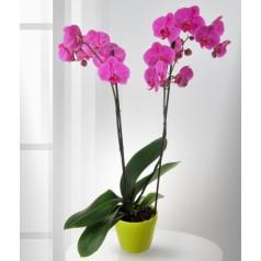 Орхидея Весна в горшке