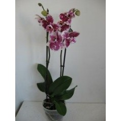 Орхидея Лето