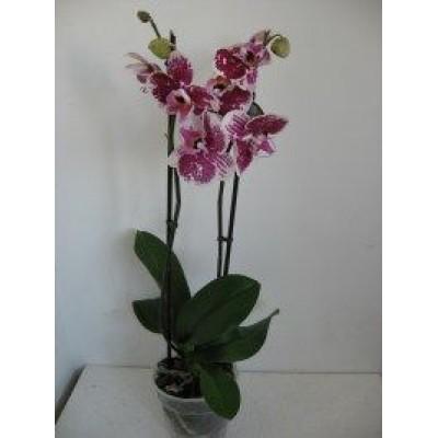 Орхидея Лето в горшке