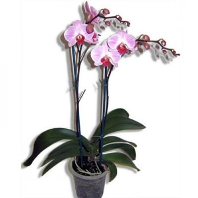 Орхидея Осень в горшке