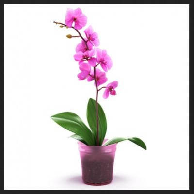 Орхидея Зима в горшке