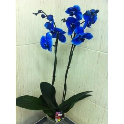 Орхидея Голубая в горшке