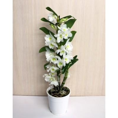 Орхидея Дендробиум в горшке