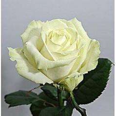 Мондиаль белая роза 1 шт