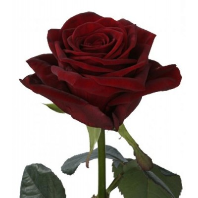 Наоми (1 роза)