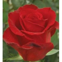 Роза Алая (мин. заказ 1000 р)