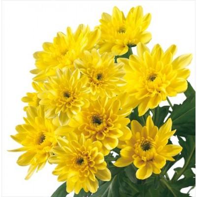 Балтика хризантема жёлтая