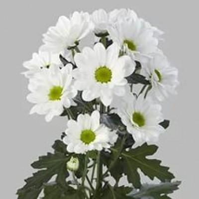 Бакарди хризантема белая