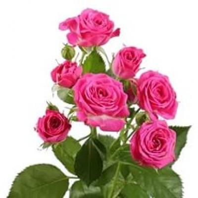 Роза кустовая розовая (1 шт)