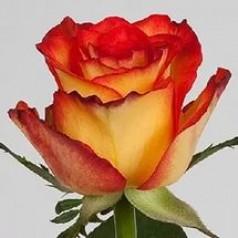 Хай Меджик (1 роза)