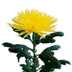 Анастасия хризантема жёлтая