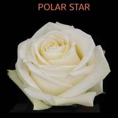 Полар Стар (1 роза)